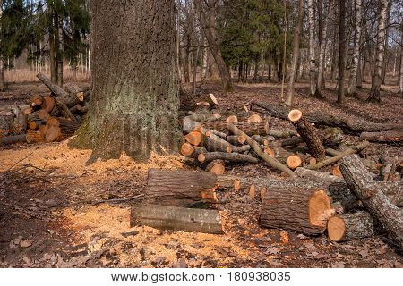 Split tree trunks, lying in the forest. Woodworking industry. Trunks of trees fell to the ground around the tree. Around are scattered yellow sawdust.