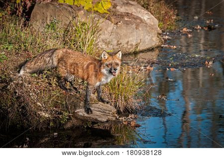 Red Fox (Vulpes vulpes) Looks Up From Rock - captive animal