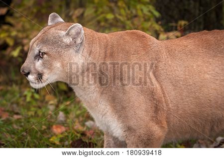 Adult Male Cougar (Puma concolor) Close Up Profile - captive animal