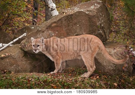 Adult Male Cougar (Puma concolor) Stands at Den Entrance - captive animal
