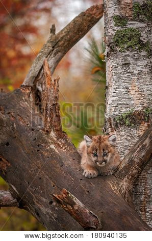 Female Cougar Kitten (Puma concolor) Sits Alone in Tree - captive animal