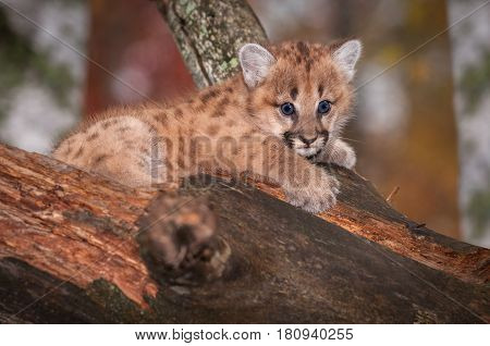 Female Cougar Kitten (Puma concolor) Wide Eyed in Tree - captive animal