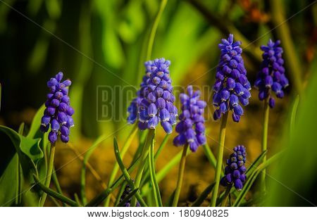 Blue Purple Muscari plant spring flowers. Muscari as cheerful harbinger of spring with its bright flowers.