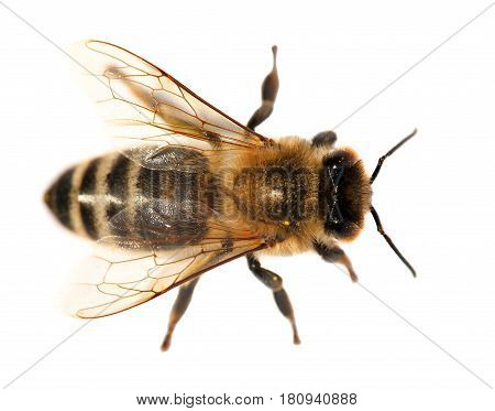 detail of bee or honeybee in Latin Apis Mellifera european or western honey bee isolated on the white background golden honeybee