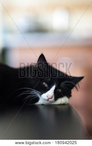 white and black cats, beautiful cat resting, amazing cats
