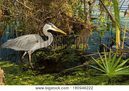 A Great Blue Heron hunting in a pond at St. Andrews State Park in Panama City Beach Florida.