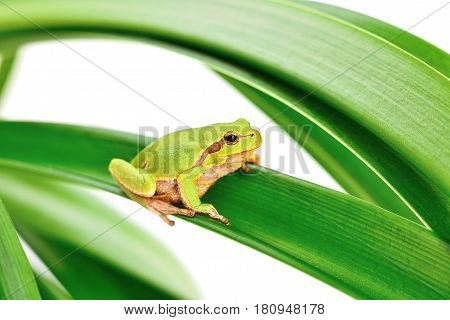 macro of a tree frog sitting on a leaf isolated on white