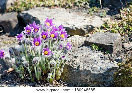 Photo Of Beautiful Purple Blooming Flowers With Wonderful Petals Near Stones