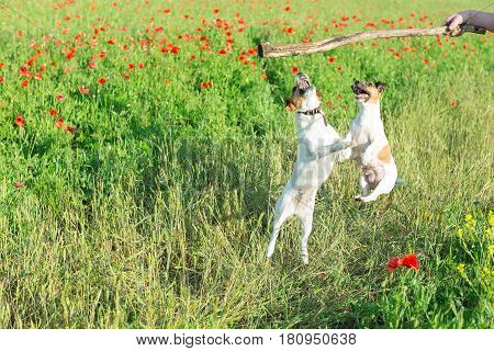 Nature, spring flowers and dogs concept - two dogs playing on a field of red poppies, jumping up a stick in the hand of man, the Jack Russell Terrier is a funny small terrier dog, Mylo dogs.
