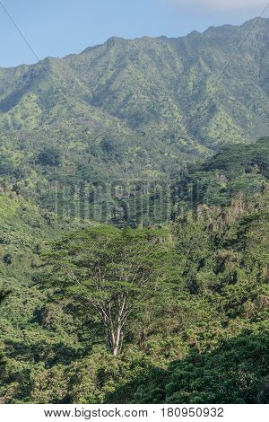 Lush Landscape: lush, tropical, mountains, tress and other tropical plants, along the Kuilua Trail, on Kauai