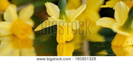 Dancing yellow daffodils with reflection. Panoramic cut