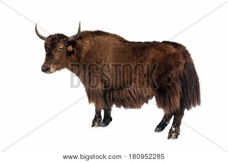 brown yak in Latin Bos mutus isolated on white background yak is farm animal in Nepal and Tibet
