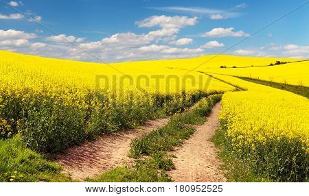 Field of rapeseed canola or colza in Latin Brassica napus with rural road and beautiful cloud rapeseed is plant for green energy and green industry springtime golden flowering rapeseed field