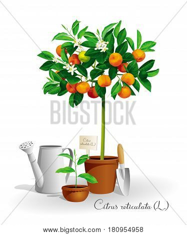 Mandarin tree with its Latin name in a pot and the garden tools