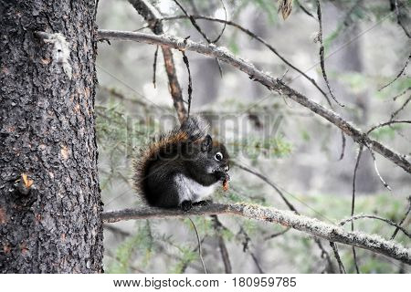 Picture of a squirrel eating an acorn in winter in Banff National Park,Alberta,Canada.