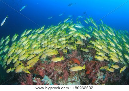Shoal of yellow Snapper fish in blue water over red corals