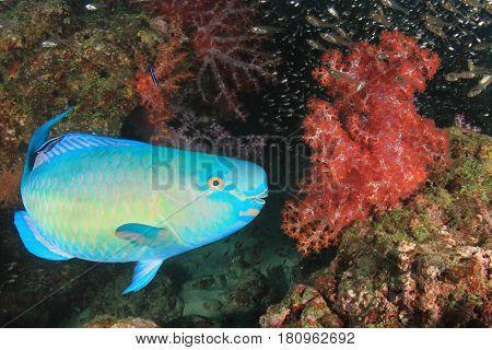 Steephead Parrotfish reef fish