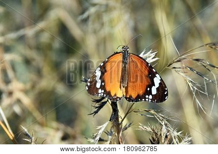 Picture of an African monarch butterfly Danaus Chrysippus in South Africa.