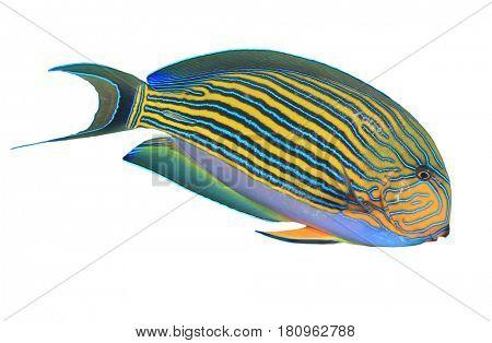 Striped Surgeonfish fish isolated on white background