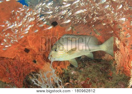 Sweetlips fish on coral reef