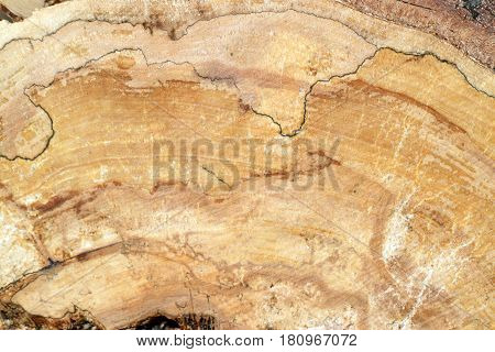 Pine burl wood in the section closeup