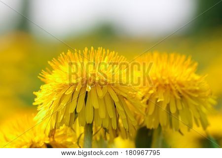 dandelion flower close up on a Sunny meadow with blurred background