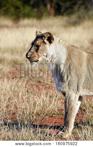 Picture of a prowling lion,Madikwe game reserve, South Africa.