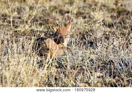 Picture of a black backed jackal in Madikwe game reserve, South Africa.