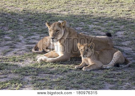 Lioness With Cubs, Serengeti, Tanzania