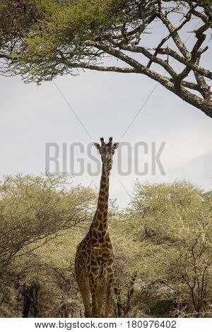 Giraffe Standing In Serengeti, Tanzania