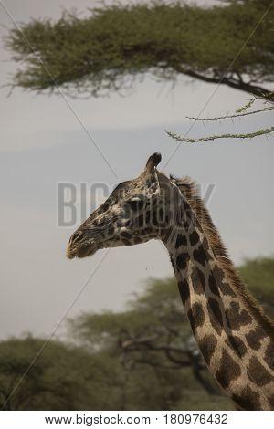 Giraffe Portrait In Serengeti, Tanzania