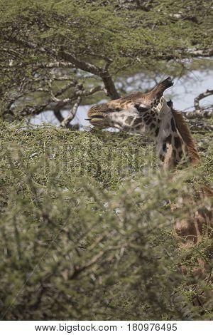 Giraffe Feeding In Acacia Treetop Serengeti, Tanzania