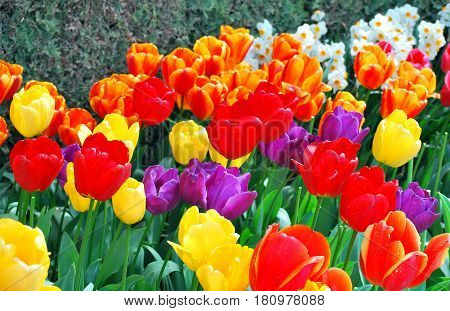 Colorful flower tulips blooming in Amsterdam, Netherlands.