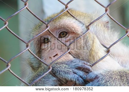 The lonely monkey sat sadly in the jail.