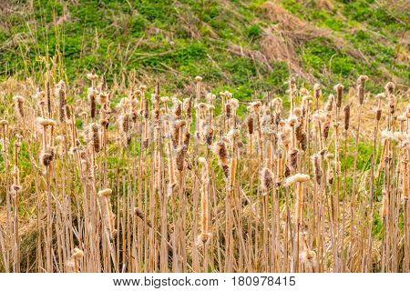 common reed going to seed by a pond on a sunny day