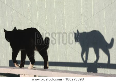 Cat throws a strong shadow in the afternoon sun.