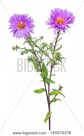 violet color flower isolated on white background
