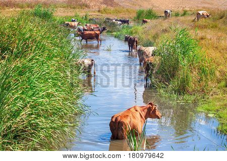 farm cows standing in the river water in the summer