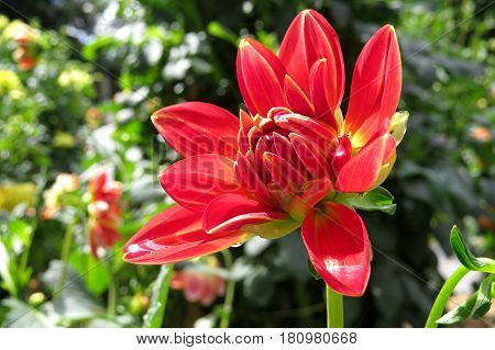 Red beautiful Dahlia flower blooming in the garden