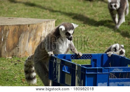 image of a ring tailed lemur foraging for food