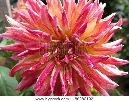 Pink yellow beautiful Dahlia flower blooming in the garden
