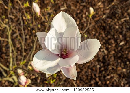 Pink Bloomed Magnolia Flower In The Spring Season On The Magnolia Tree. Wood Chips On The Floor As B