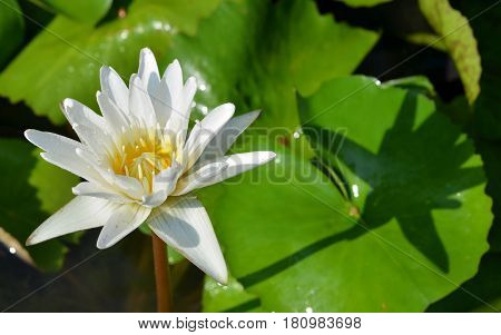 Beautiful water lily or white lotus in morning day.