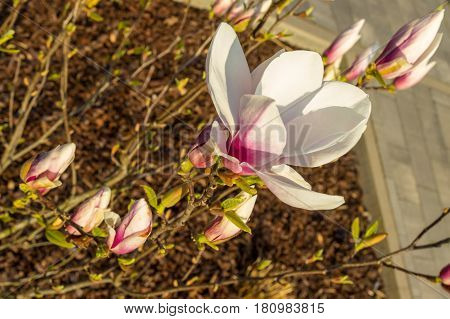 White And Pink Bloomed Magnolia Flower In The Spring Season On The Magnolia Tree. Wood Chips And Pav