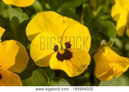 Horned Violet, Yellow Viola With Green Leaves Planted In A Garden - Close