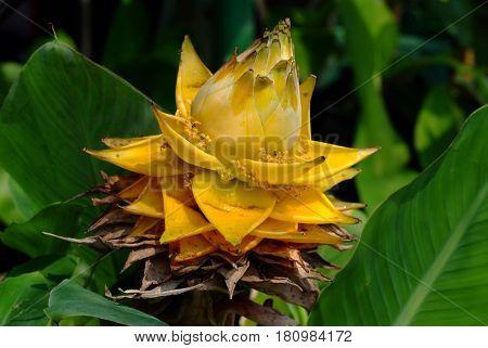 Golden Lotus Dwarf Banana Musella lasiocarpa .
