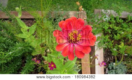 Beautiful coral red Zinnia flower bloom in a garden bed