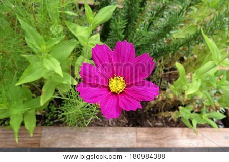 Vivid pink Cosmos daisy flower Asteraceae plant growing in garden bed