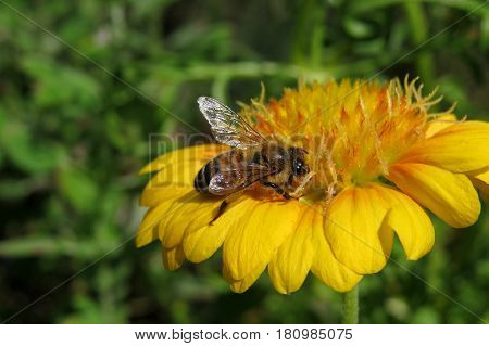 Pretty orange yellow apricot Chrysanthemum like flower blooming in the garden with happy bee
