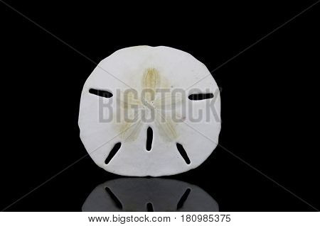 Dollar Sea Shell Isolated On black Background